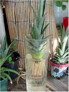 How To Grow Your Own Pineapple At Home Malaysia Health